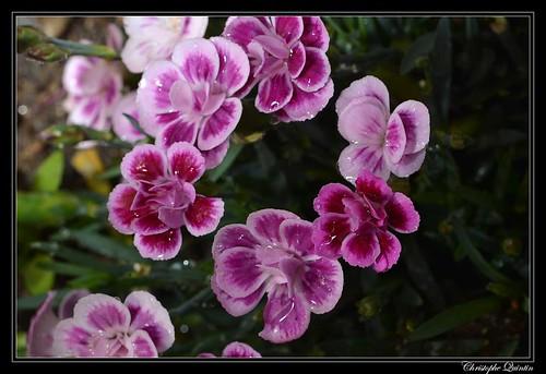Oeillet (Dianthus caryophyllus)