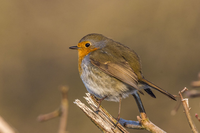 Close-up on a robin
