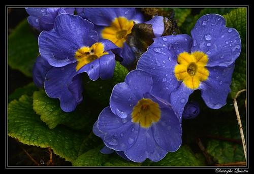 Primevères (Primula x acaulis)