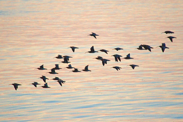 Curlews returning to roost over a sunset sea