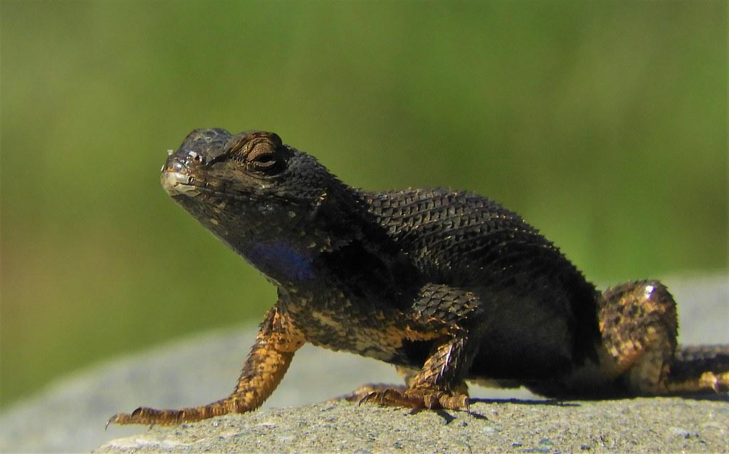Western Fence Lizard, being Mellow