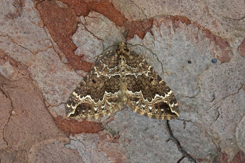 70.103 Water Carpet (Lampropteryx suffumata), Burntisland, Fife