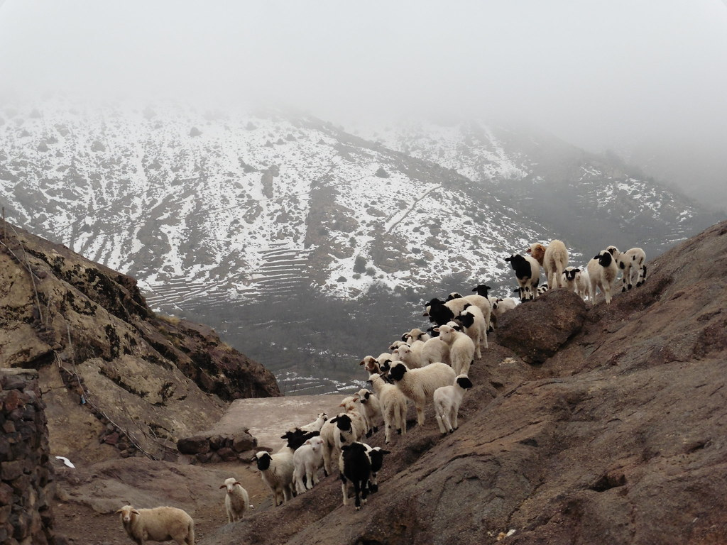 Sheep on the Atlas Mountains