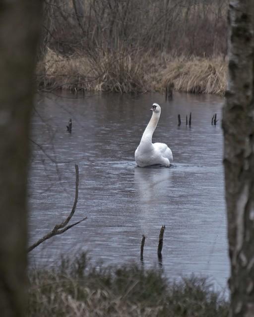 Swan in the Tarbeker Moor | March 7, 2021 | Tarbeker Moor - Segeberg District - Schleswig-Holstein - Germany