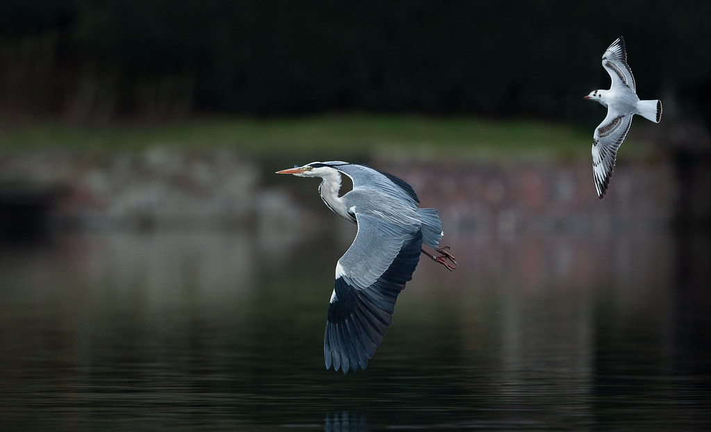 Heron-with-Gull-1a-LP-crop