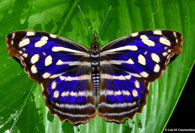 Myscelia cyaniris cyaniris (Nymphalidae)
