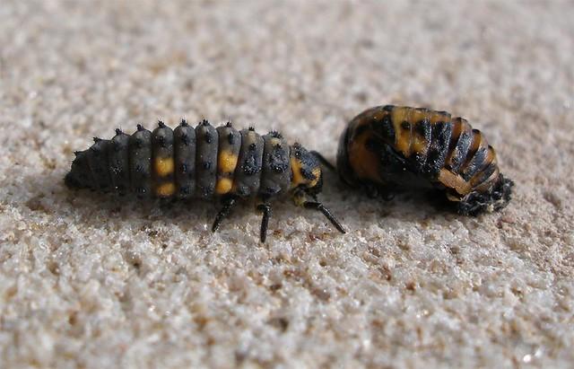 Ladybird Larva meet Pupa