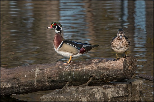 DSC05232 -   Wood Duck male and female
