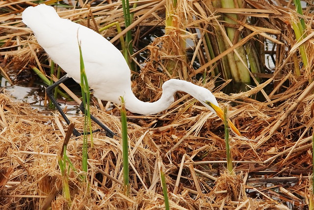 3S5X6841 Great Egret Searching