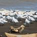 Royal Terns-IMG_5237-ShpnAI-foc