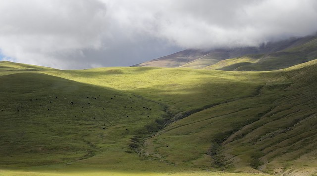 Grazing Yak herd, Tibet 2019