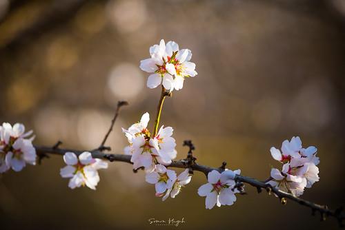 Fresno County, Cherry Blossom Trail