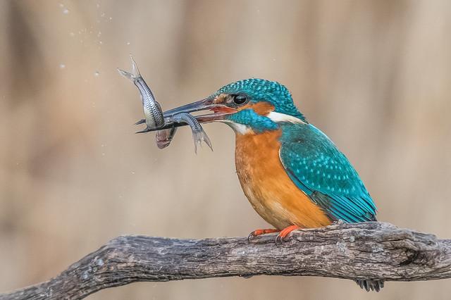 Kingfisher ❤️