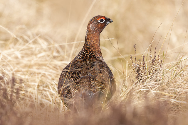 Red Grouse - Lagopus lagopus scoticus