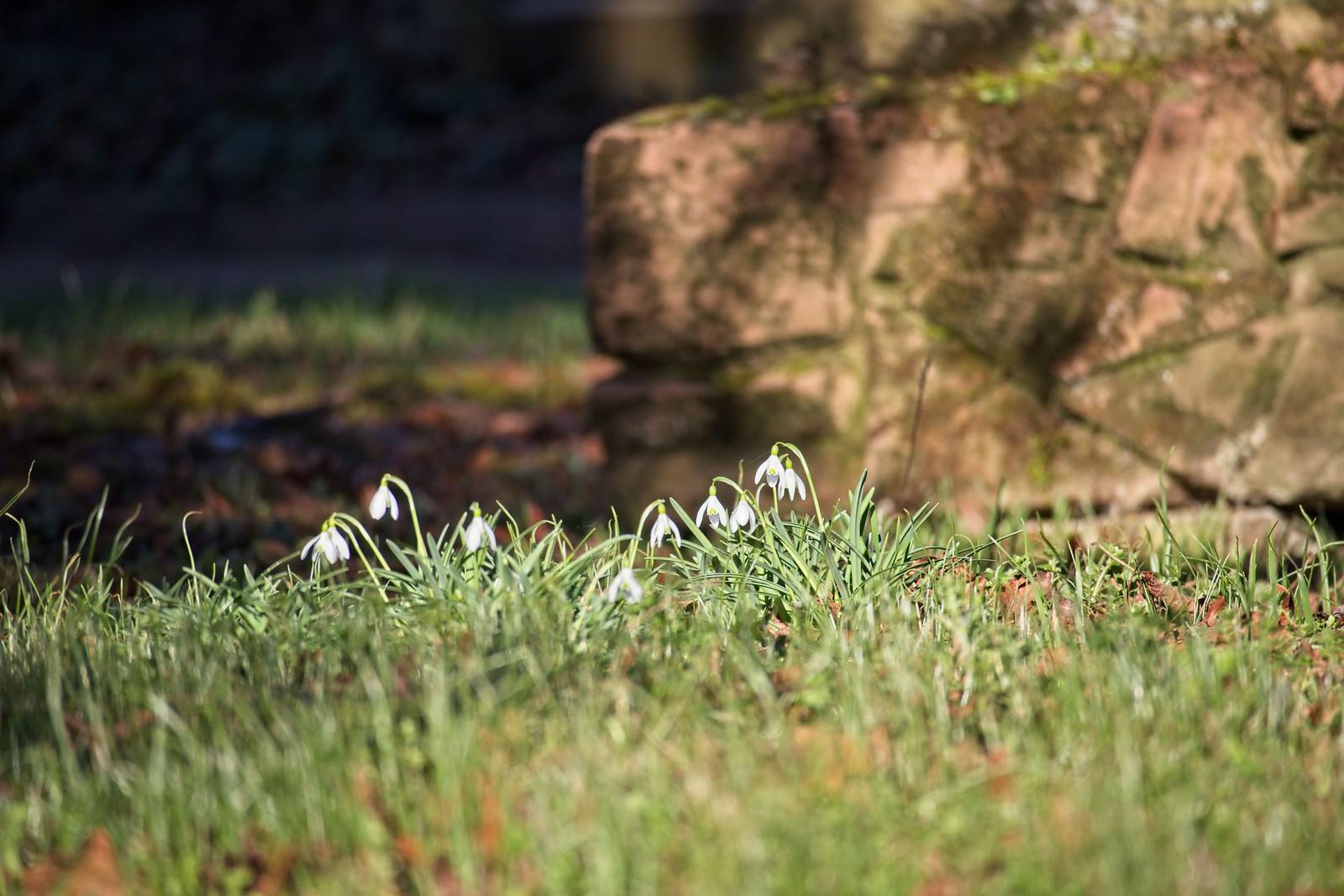 Schneeglöckchen auf dem alten Friedhof Selzen (Canon EOS M50, EF-M 55-200mm f/4.5-6.3 IS STM, 200 mm, Manuell, 1/250 sek @ f/6,3, ISO 100)