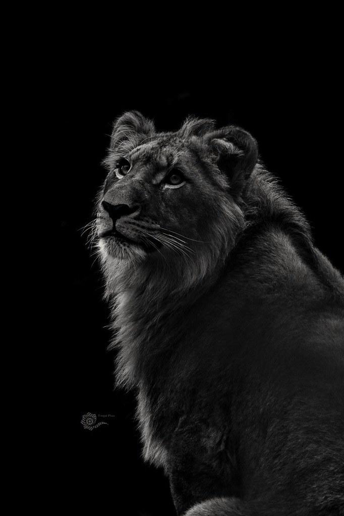 Löwe / Lion  ( Panthera Leo )