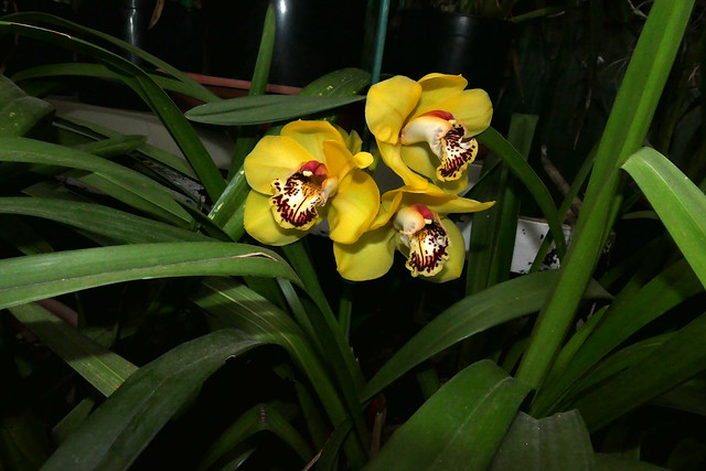 Cymbidium Kelly's Winter 'Phyllis'  hybrid orchid