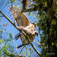 Red Shouldered Hawks Mating.jpg