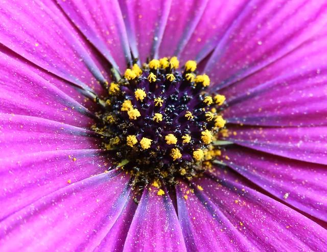 il centro del fiore