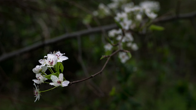 Early almond tree blossoms