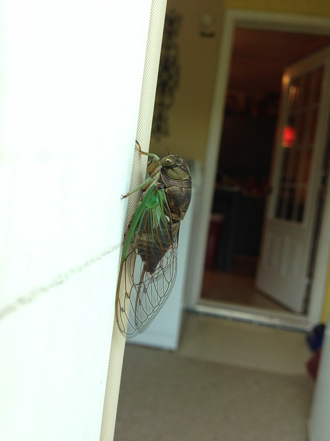 Cicada from Kentucky