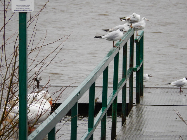 Two white geese and some black-headed gulls on a river ferry landingstage, 2021 Feb 20