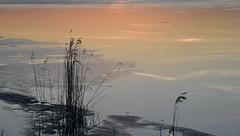 An der Alten Sorgeschleife - Gräser im letzten Licht des Tages; Erfde, Stapelholm (84)