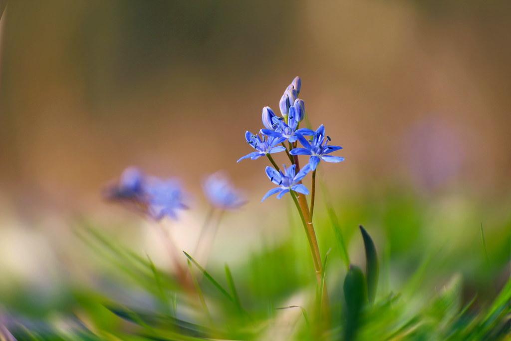 Scilla bifolia / Tavaszi csillagvirág