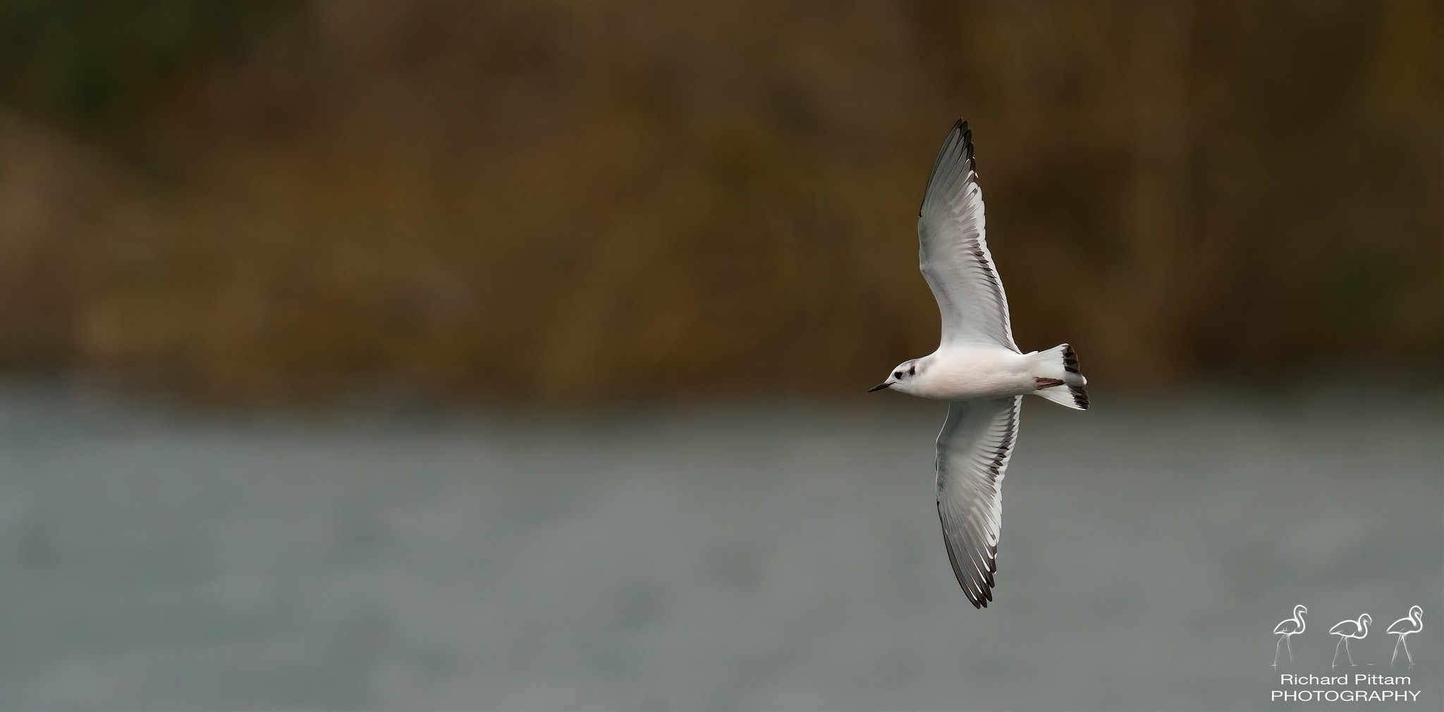 Little Gull [ terrible weather conditions Sunday morning...]