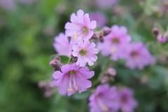 Phacellias