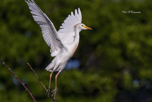 Cattle Egret in breeding plumage,take-off