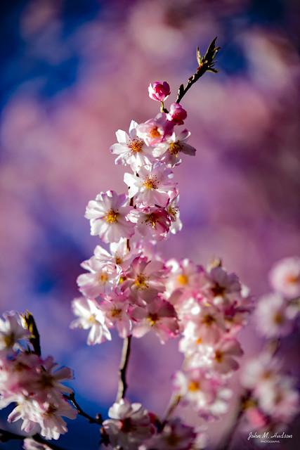 2021.03.29.0406.D850 Cherry Blossoms