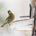 lesser_goldfinch_on_feeder-20210307-101