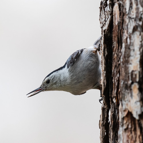 white_breasted_nuthatch-20210307-101