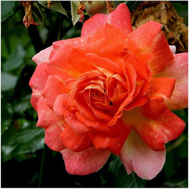 Róża po deszczu.