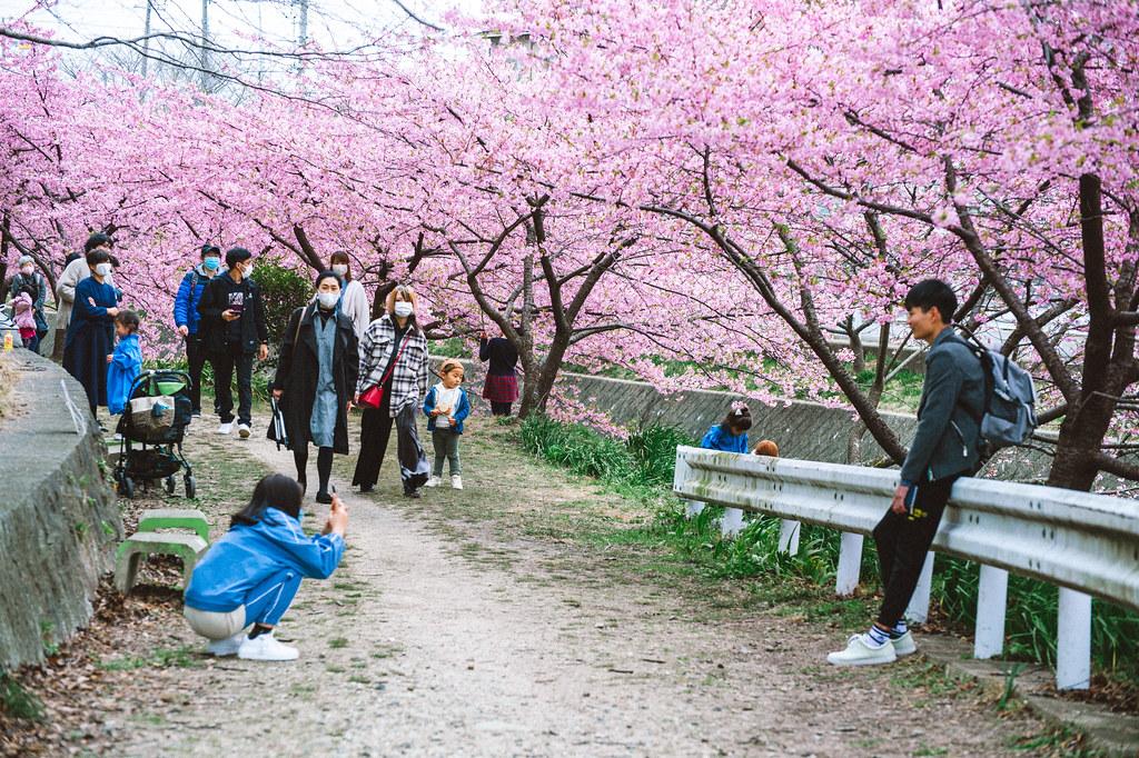 加茂川 河津桜