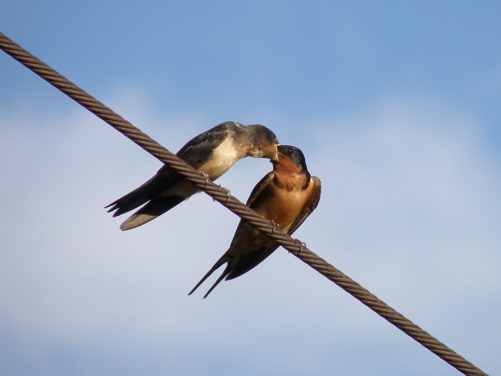 P6195118...Barn Swallows / parent feeding baby