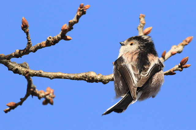 Another Long Tailed Tit at Fareham Creek, Hampshire