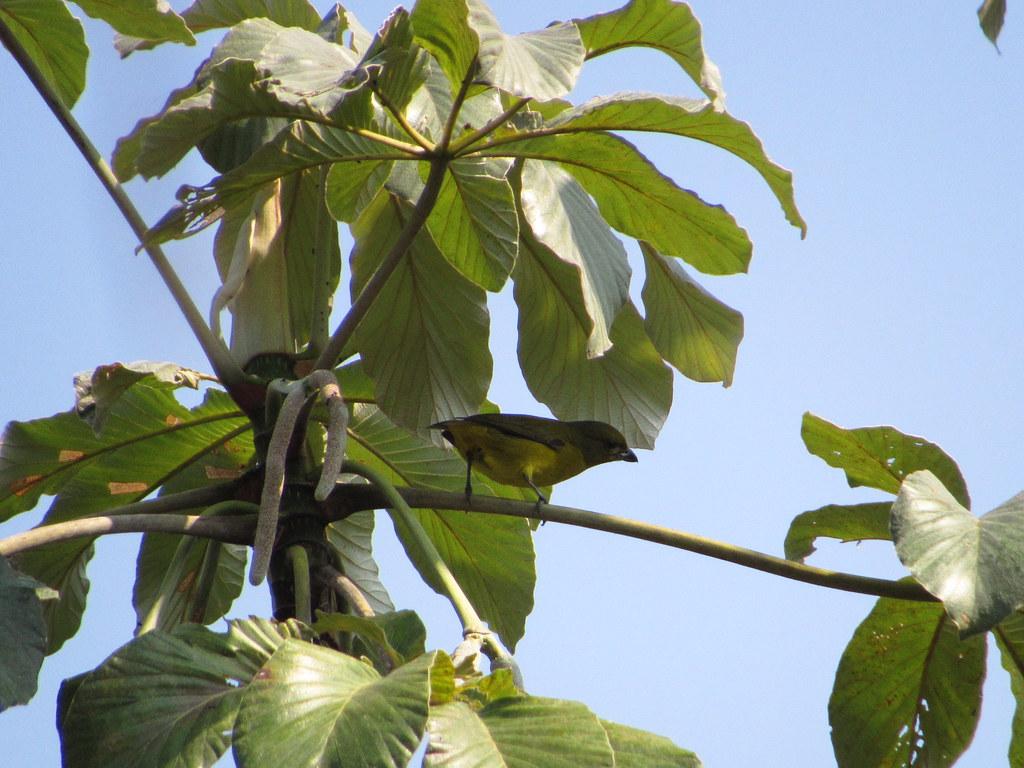 Thick-billed Euphonia - Euphonia laniirostris (Hembra) - El Jaguar ProAves Reserve  - Foto Daniel Villar