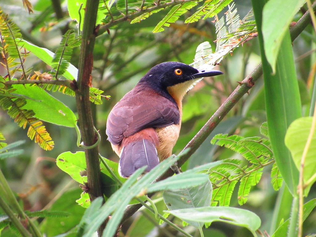 Black-capped Donacobius - Donacobius atricapilla - El Jaguar ProAves Reserve  - Foto Daniel Villar