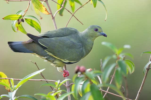 210329 - Pink-necked Green Pigeon (红颈绿鸠)