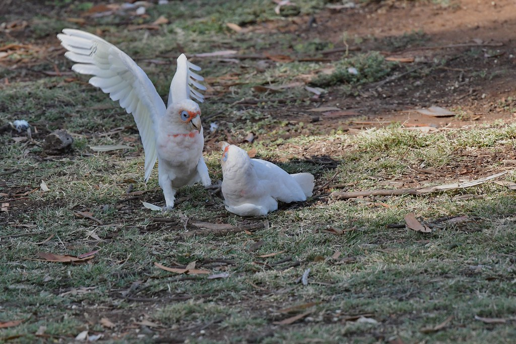 Long-billed Corellas ( game over )