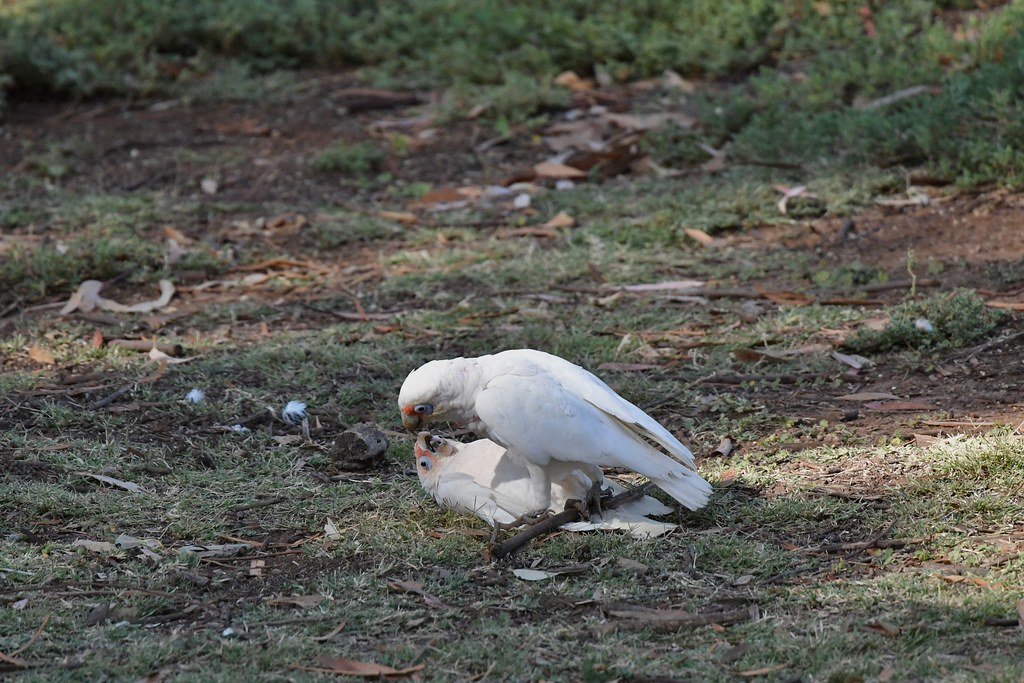 Long-billed Corellas ( not sharing )