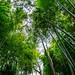 Bamboo Forest : 小机城址市民の森の竹林