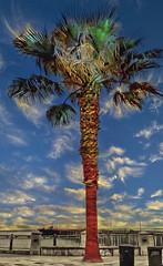 Avila Palm Tree