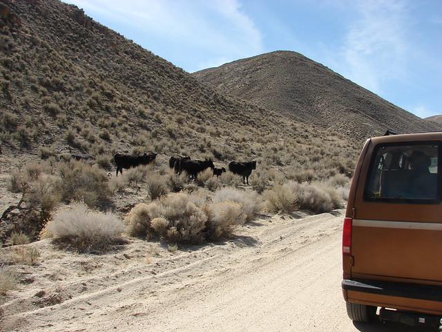 Shoal Road Cows