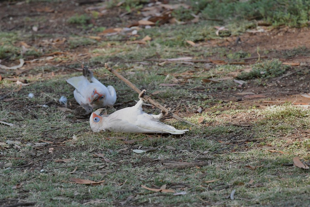 Long-billed Corellas ( having Fun )