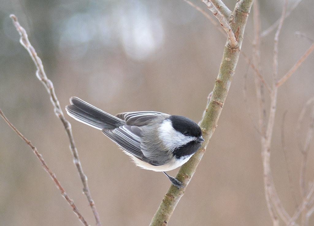 sweet chickadee