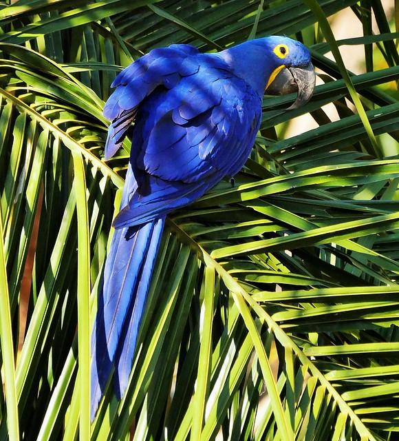 Hyacinth Macaw In A Palm Tree (Anodorhynchus hyacinthinus)