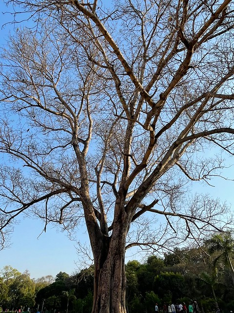City Season - Leafless Tree, Lodhi Garden